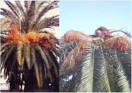 Soluzione contro il punteruolo rosso parassita delle palme - Punteruolo rosso in casa ...